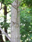 IL_tree_bark