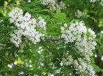 IL_tree_flowers