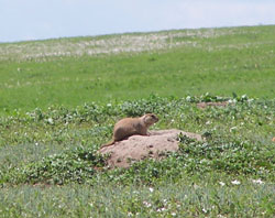 Badlands_PrairieDog