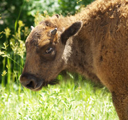 Custer_buffalo_baby