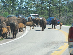 Custer_buffalo_road