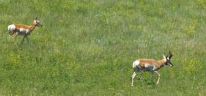 Custer_pronghorn