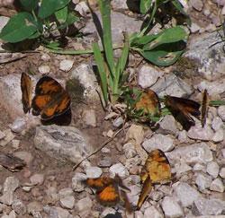 BlHills_butterflies